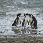 טיול לארגנטינה וצ'ילה, האי מגדלנה, פינגווינים