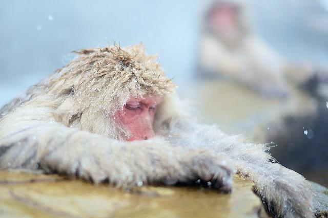 טיול ליפן טיפים, קופי מקוק באלפים היפנים