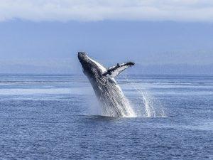 טיולים לניו זילנד האי הדרומי, שייט לוויתנים גדולי סנפיר קאיקורה