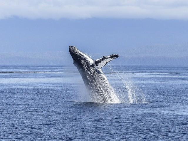 טיול לניו זילנד האי הדרומי, שייט לוויתנים גדולי סנפיר קאיקורה