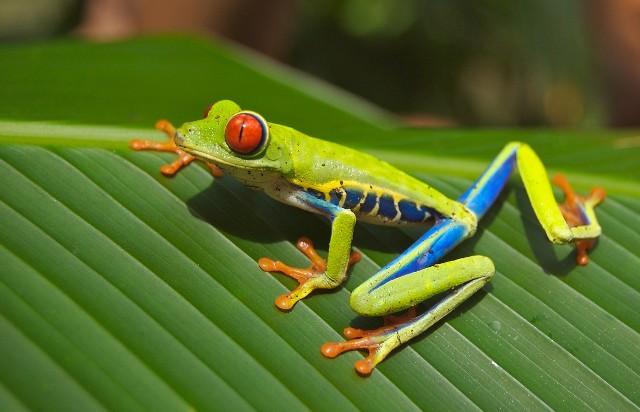 טיול לקוסטה ריקה, צפרדע אדומת עיינים