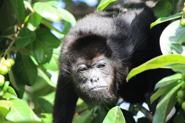 טיול לקוסטה ריקה, קופים בג'ונגל