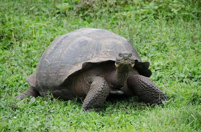 טיול לגלפגוס, צבי ענק
