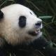סין טיול עם ילדים, פנדות, סצ'ואן