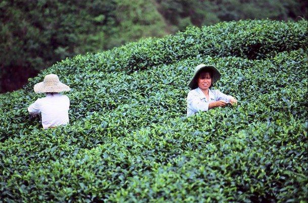 טיול לסין מטעי תה