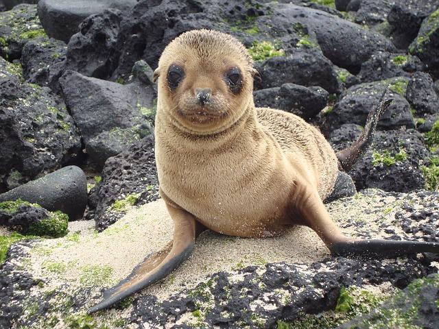 אריה ים, איי גלפגוס