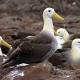 מאת putneymark - originally posted to Flickr as waved albatross Espanola Punta Suarez, CC BY-SA 2.0, https://commons.wikimedia.org/w/index.php?curid=3896506
