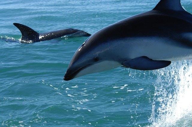 דולפיני דאסקי, קאיקורה